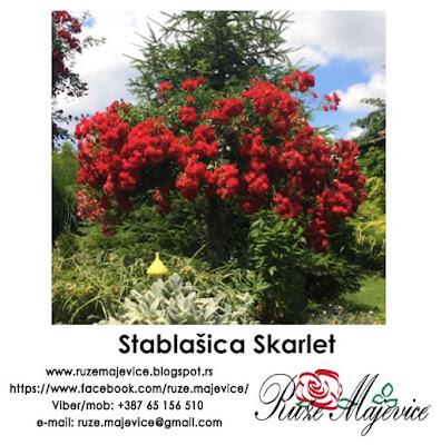 Ruža stablašica Skarlet
