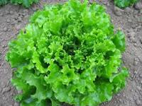 Khasiat daun selada untuk mengobati diabetes