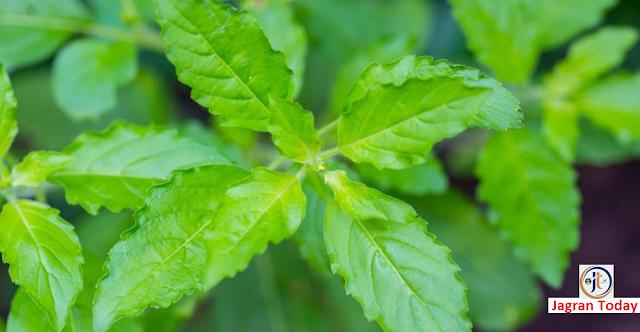 तुलसी सामान्य पौधा नहीं है