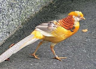 goldenpheasant 27812 Foto Yellow Pheasant Terbaru Jual Ayam Hias HP : 08564 77 23 888 | BERKUALITAS DAN TERPERCAYA Foto Yellow Pheasant Terbaru Galeri Foto Yellow Pheasant Terbaru