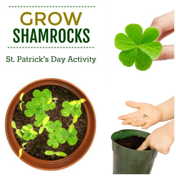 GROW LUCKY SHAMROCKS: a fun kids activity for St. Patrick's Day! #shamrocks #kidsactivities #stpatricksdayactivities
