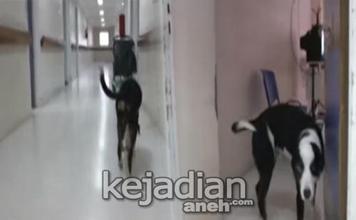 Anjing Tunggu Majikan Meninggal di Kamar Bedah Rumah Sakit