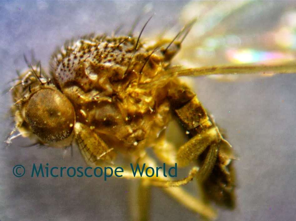 insect under microscope