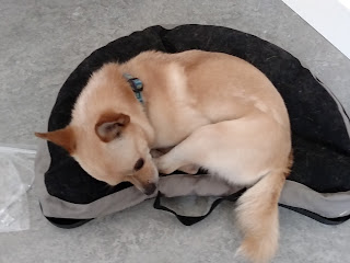 Chihuahua like dog with curly tail lying on an upside down lapdesk