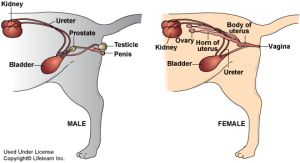Urinary Stones Disease Cats And Dog