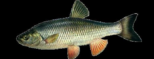 Виды речных и озерных рыб (Голавль)