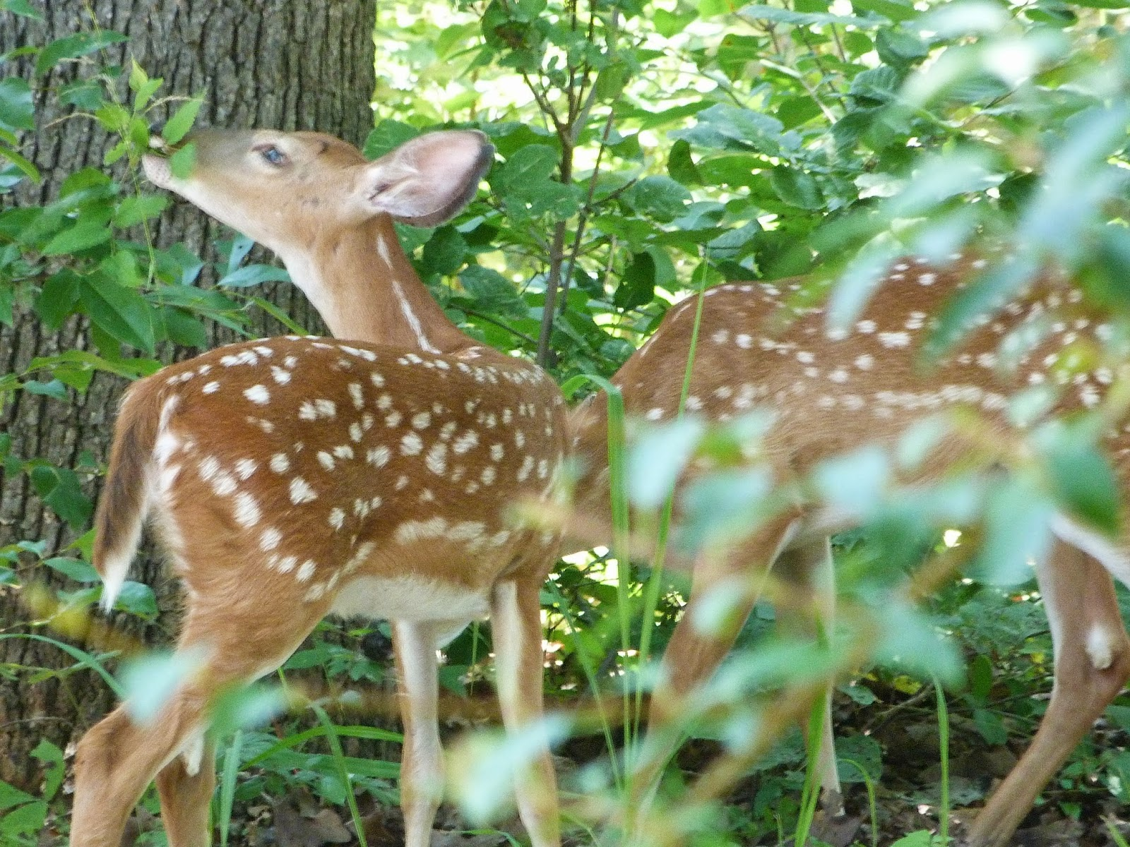 CHMusings: Fawns 2