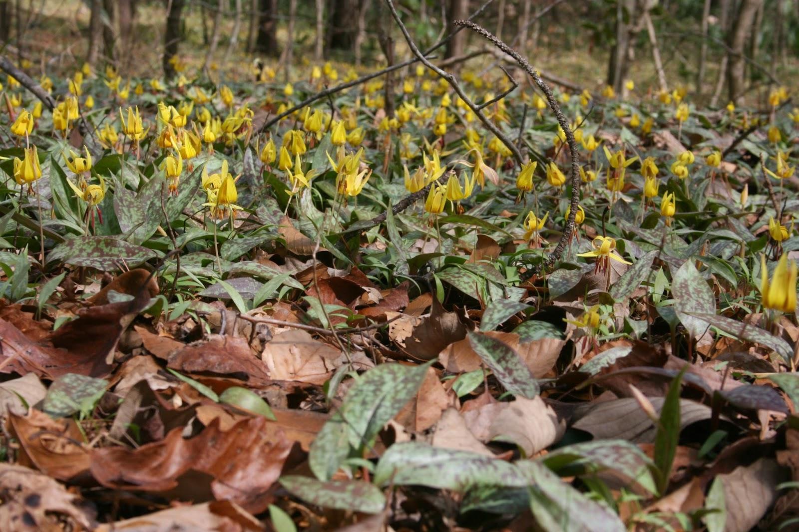 Native Florida Wildflowers February 2014