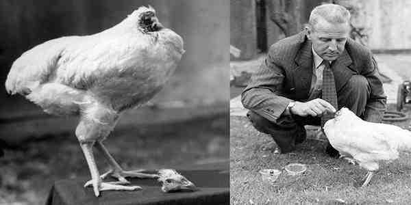 دجاجة تعيش بدون رأس