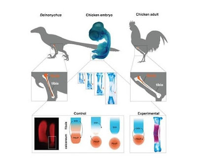Molecular experiment reverses evolution in birds obtaining a dinosaur-like lower leg
