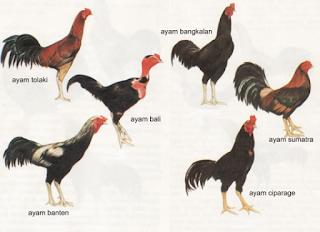 jenis ayam aduan wido, jenis ayam aduan wiring kuning, jenis ayam aduan dan warnanya, jenis ayam aduan berdasarkan warna, jenis warna ayam aduan, jenis warna ayam aduan yg bagus, jenis warna bulu ayam aduan, jenis warna kaki ayam aduan, jenis dan warna ayam aduan, jenis ayam aduan vietnam, jenis ayam petarung vietnam