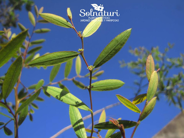 Phyllanthus sellowianus Sarandí blanco