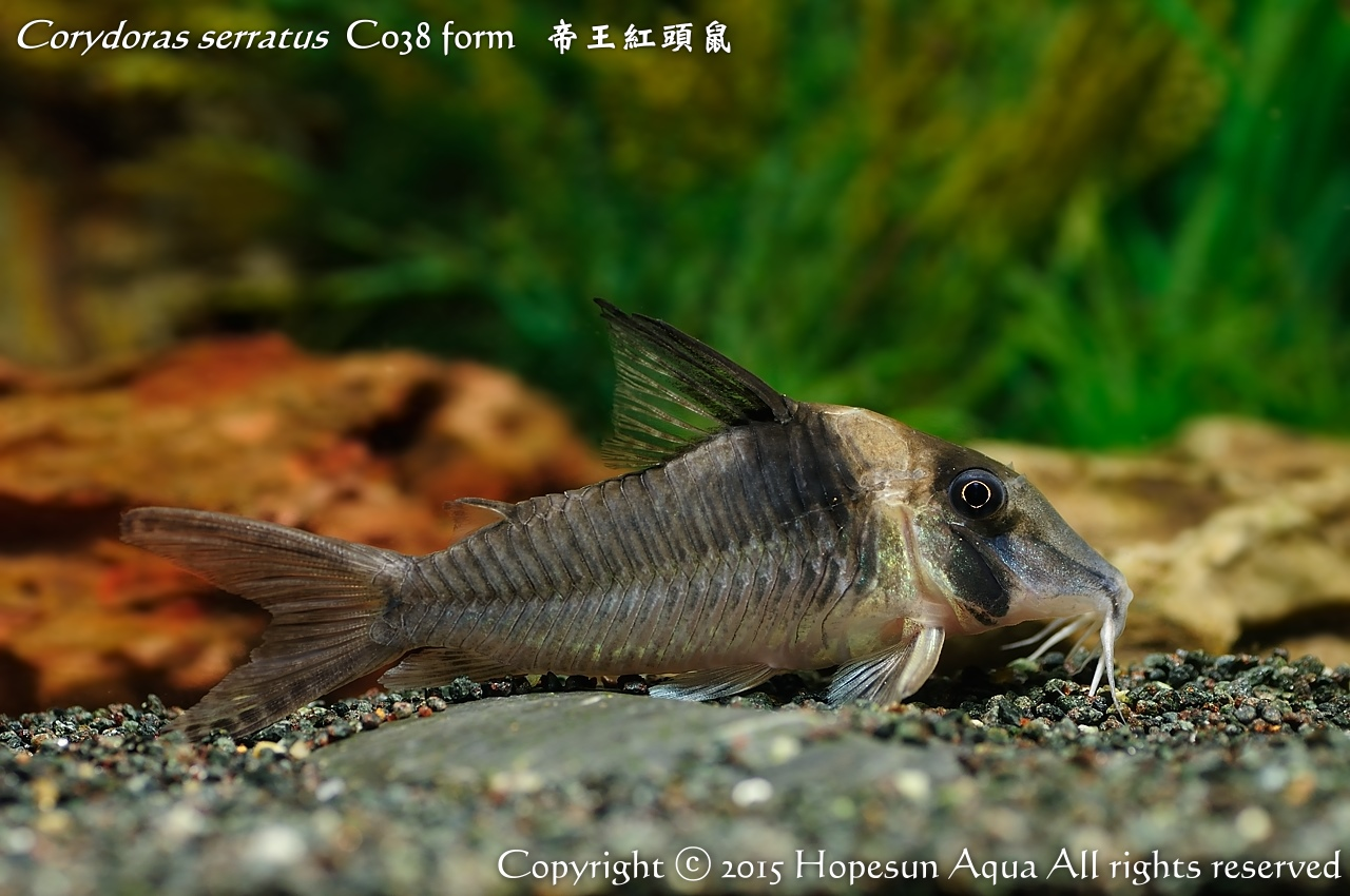 鴻順魚坊: Corydoras serratus C038 form 帝王紅頭鼠