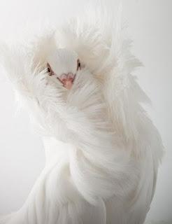 Foto Burung Merpati Jacobin Pigeon Harga Terbaru Burung Hias