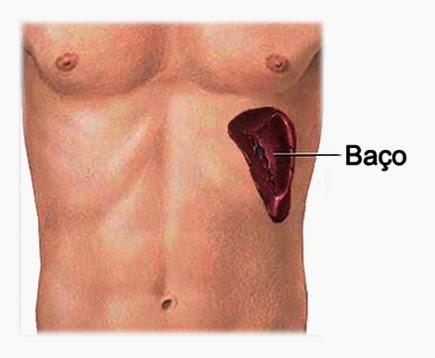 Baço, Descrição Biológica