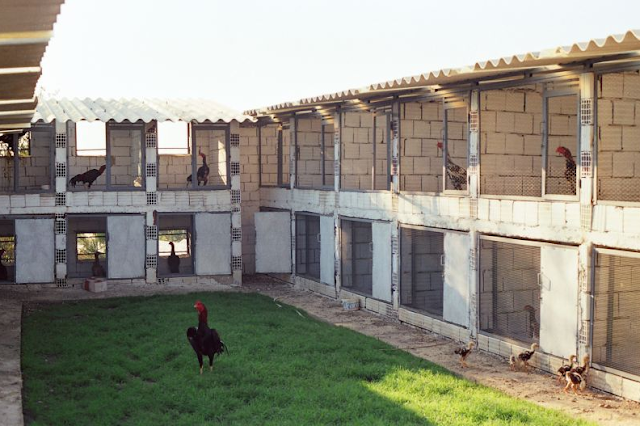 Contoh Kandang Ayam Bangkok Sederhana Plus Pembuatannya