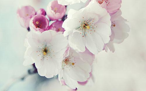Wallpaper+Bunga+Putih+Pink+2