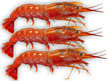 SHRIMP CULTIVATION:- the booming bussiness