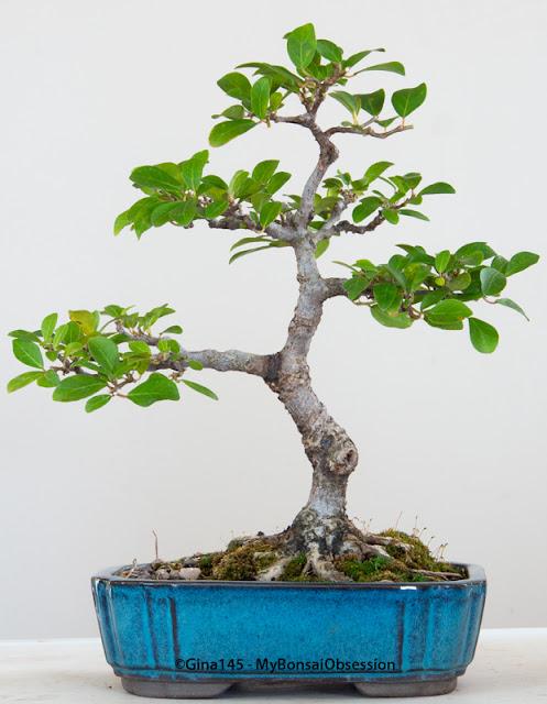 Bonsai Artist in Training