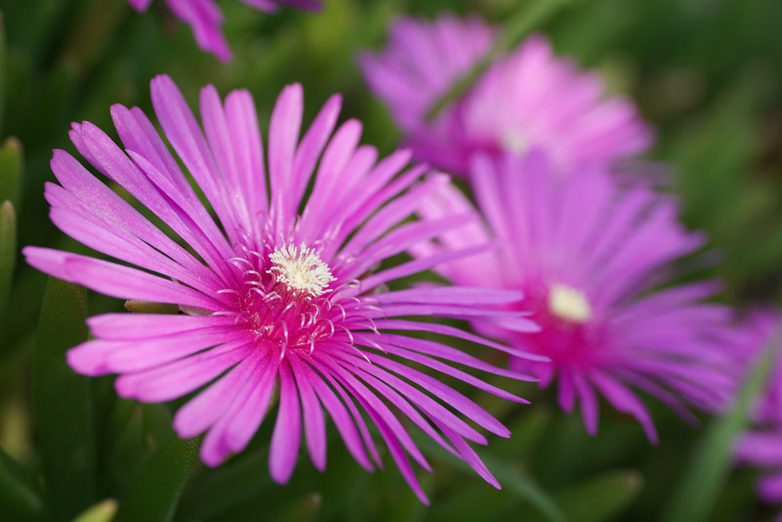 明るい日差しの中の松葉菊