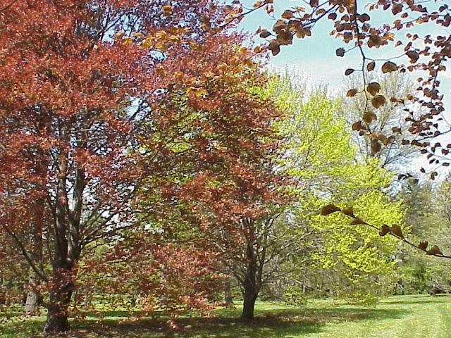 شجرة الزّان