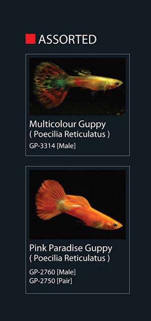 7. Multicolour Guppy  Nama Latin Pecilia Reticulatus  8. Pink Paradise Guppy  Nama Latin Pecilia Reticulatus