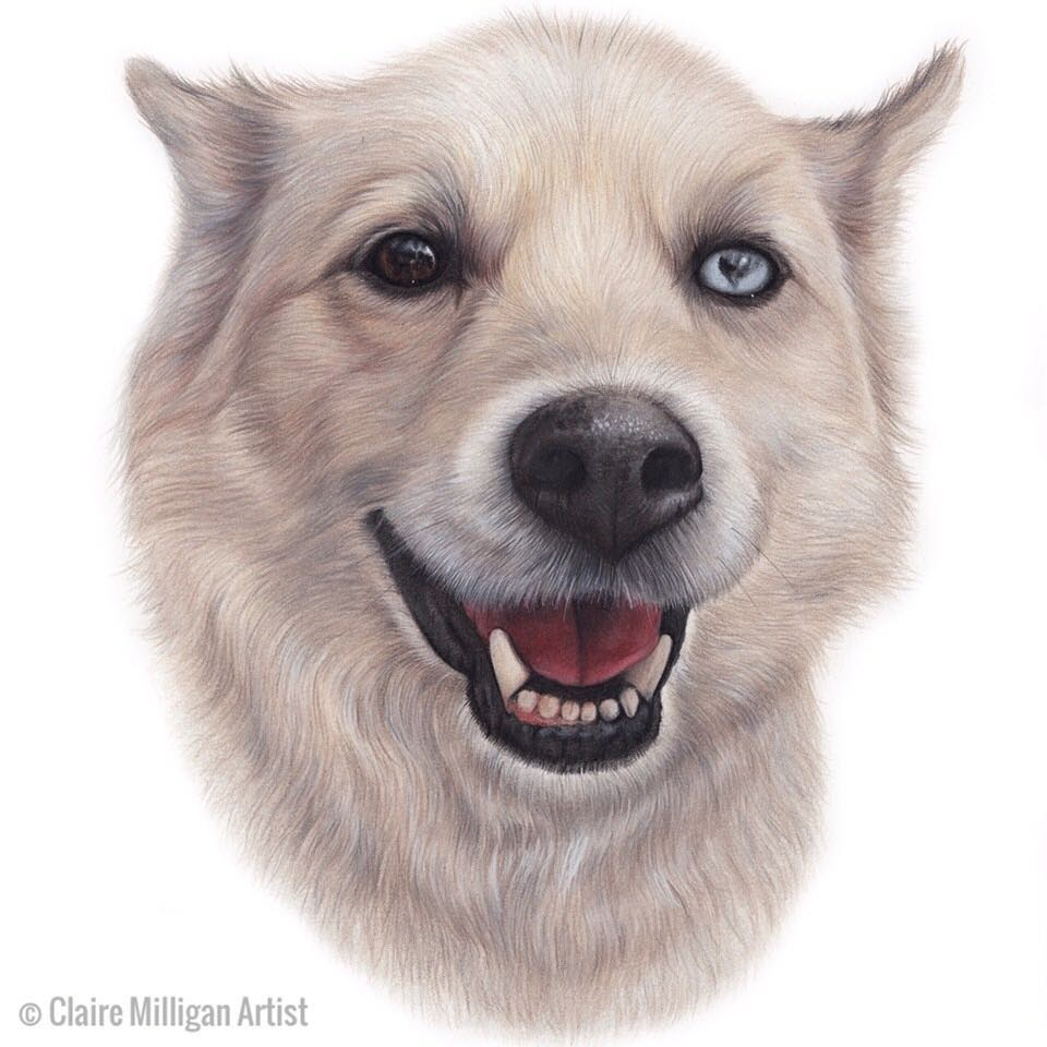 07-Husky-Coyote-Mix-Claire-Milligan-Pet-Portraits-and-Wildlife-Art-www-designstack-co