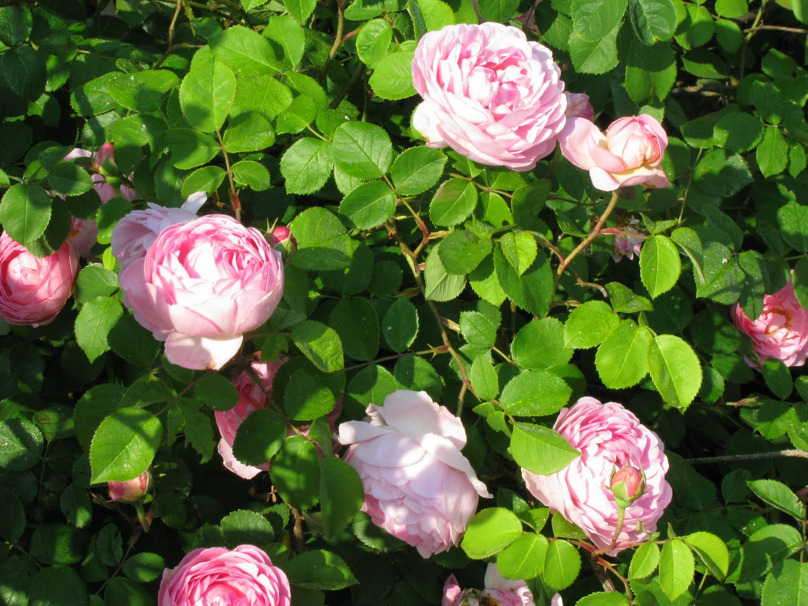 Alister Stella Grey Rose The Herbarie The Roses Are Blooming