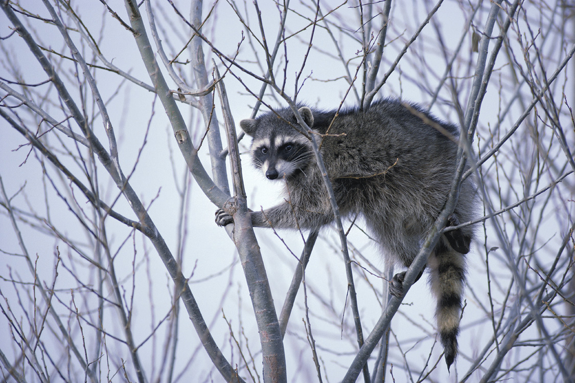 Pictures Of Raccoons 26