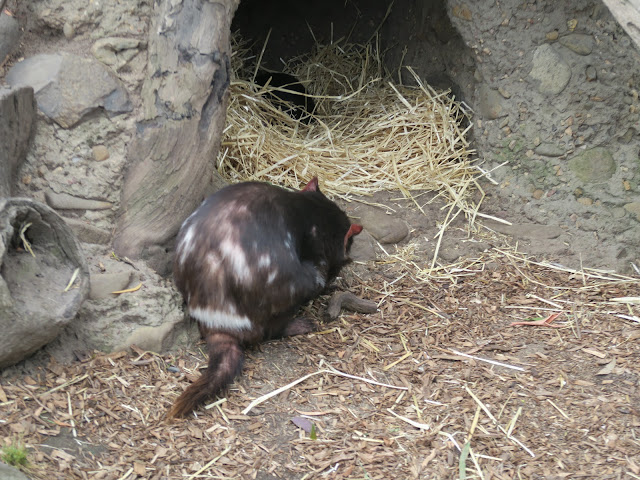 tasmanian devil,  Maru Koala and Animal Park, melbourne, australia