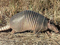 Armadillo Animal Pictures