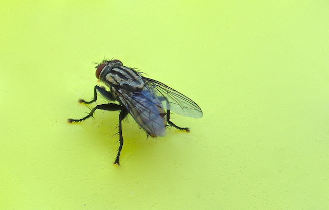 Fly on a yellow bucket