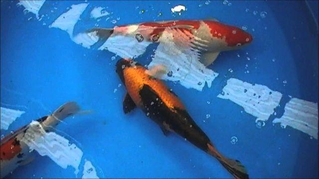 Jenis Ikan Koi Lokal Terbaik Harga Termahal Dan Gambarnya