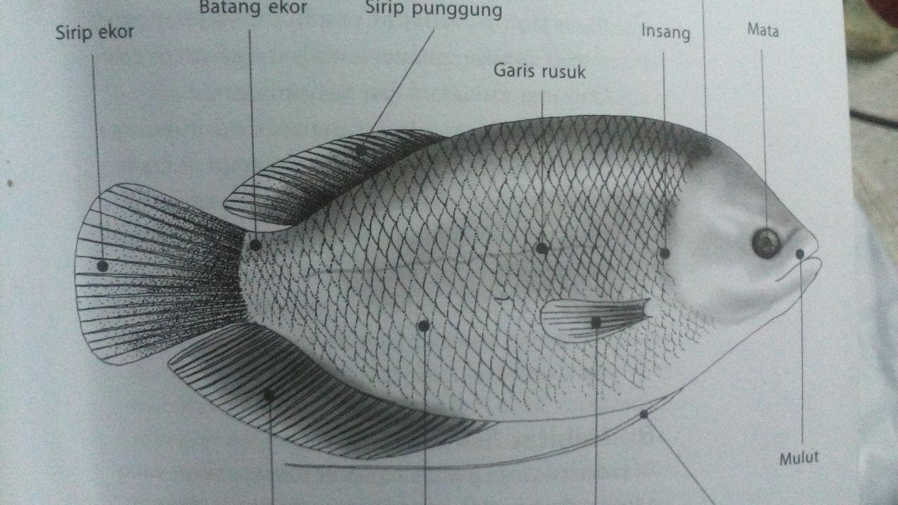 Klasifikasi Dan Morfologi Ikan Gurame Lengkap