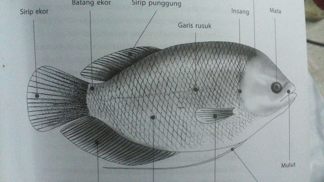 Klasifikasi dan Morfologi Ikan Gurame