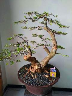 bonsai-cendrawasih-jadi.jpg