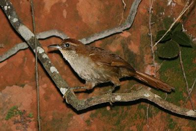 aves de argentina en peligro Tacuarero Clibanornis dendrocolaptoides