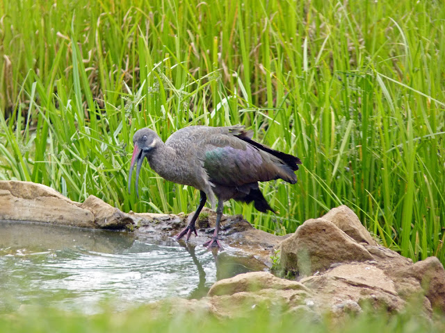 Buy fine art prints of Hadada Ibis