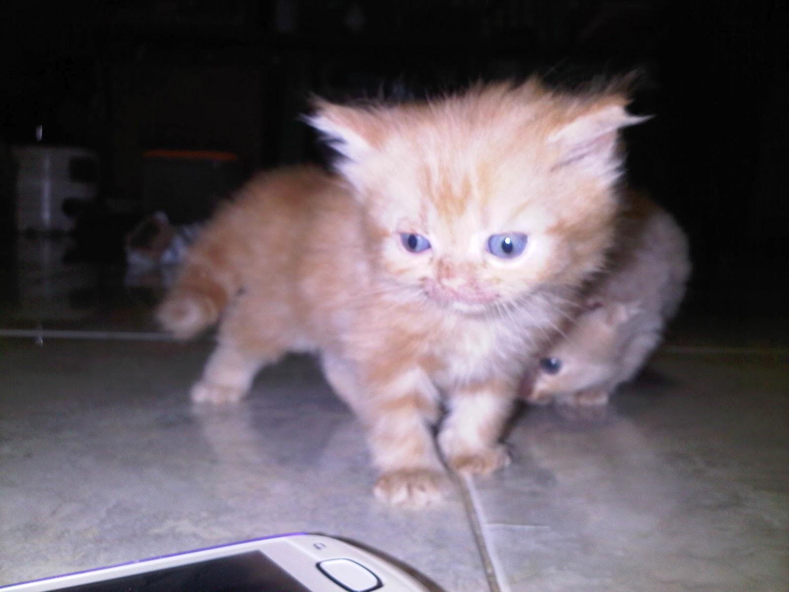 10 Cara Merawat Kucing Persia Umur 1 Bulan Yang Mudah