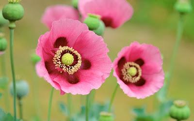صور ورد وأزهار مميزة poppies_flowers-wide