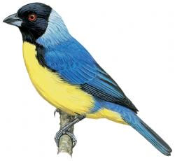 Hooded Mountain-tanager