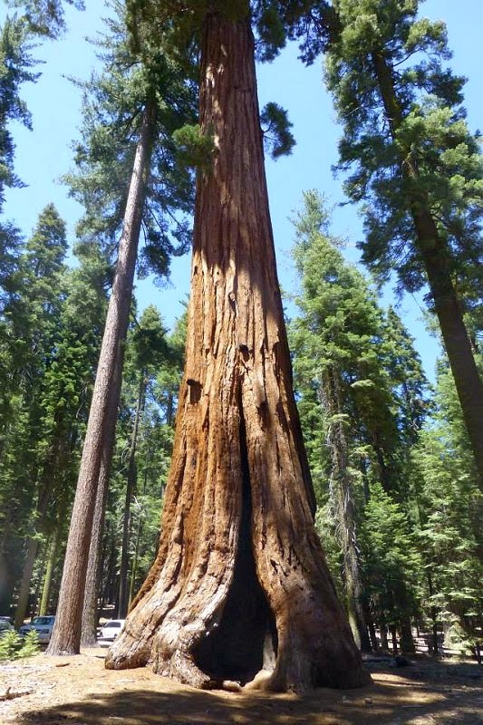 Yosemete Park Sequoia