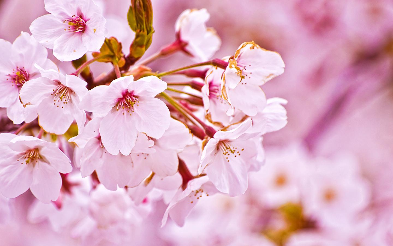 Wallpapers For Windows Sakura Flower Wallpaper For Windows