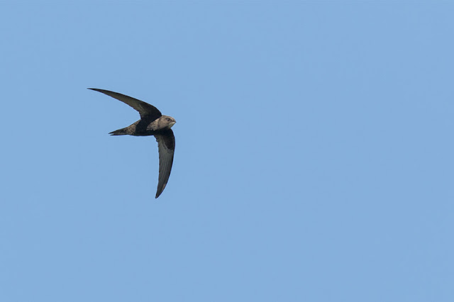 Just Some Bird Photos - Common Swift