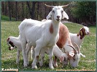 gambar kambing