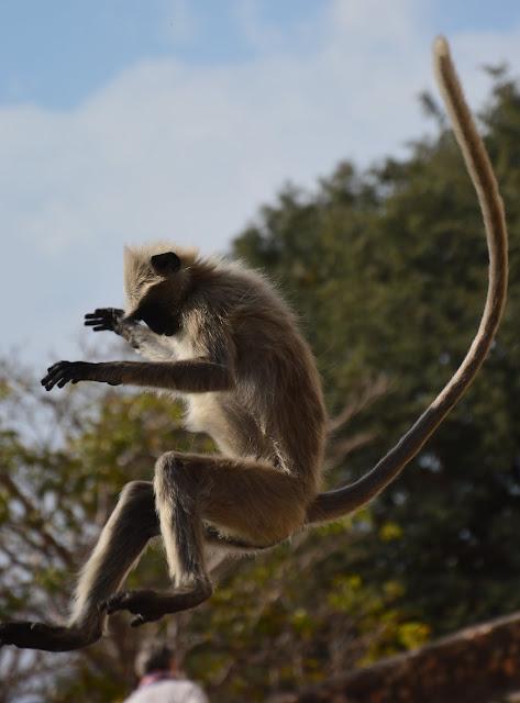 Surfer dans les airs tel un singe des monts à Udaipur