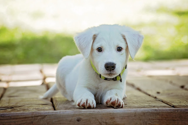 Beautiful White Puppy Sit On the Wood Bench HD Wallpaper