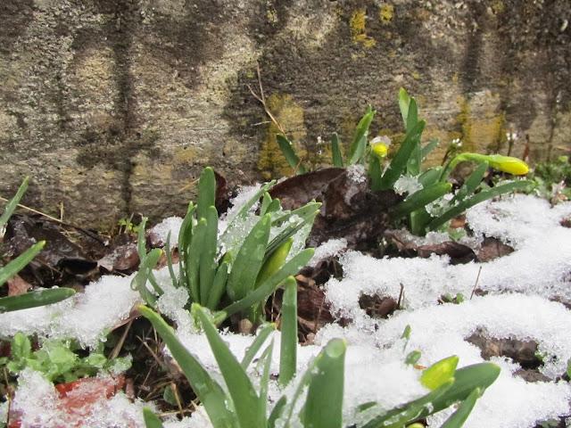 Narcisi tra la neve