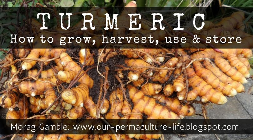Turmeric how to grow harvest use and store traditional herbal medicine herbs - Medicinal herbs harvest august dry store ...