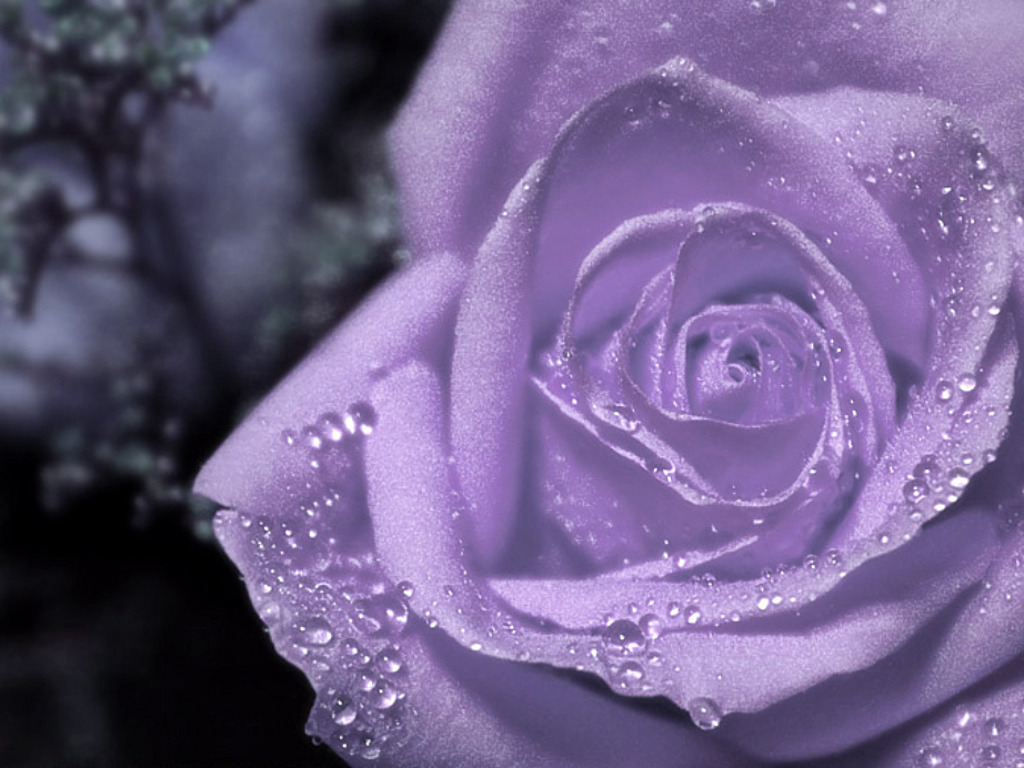Purple Roses Background Images: Purple Background Wallpapers